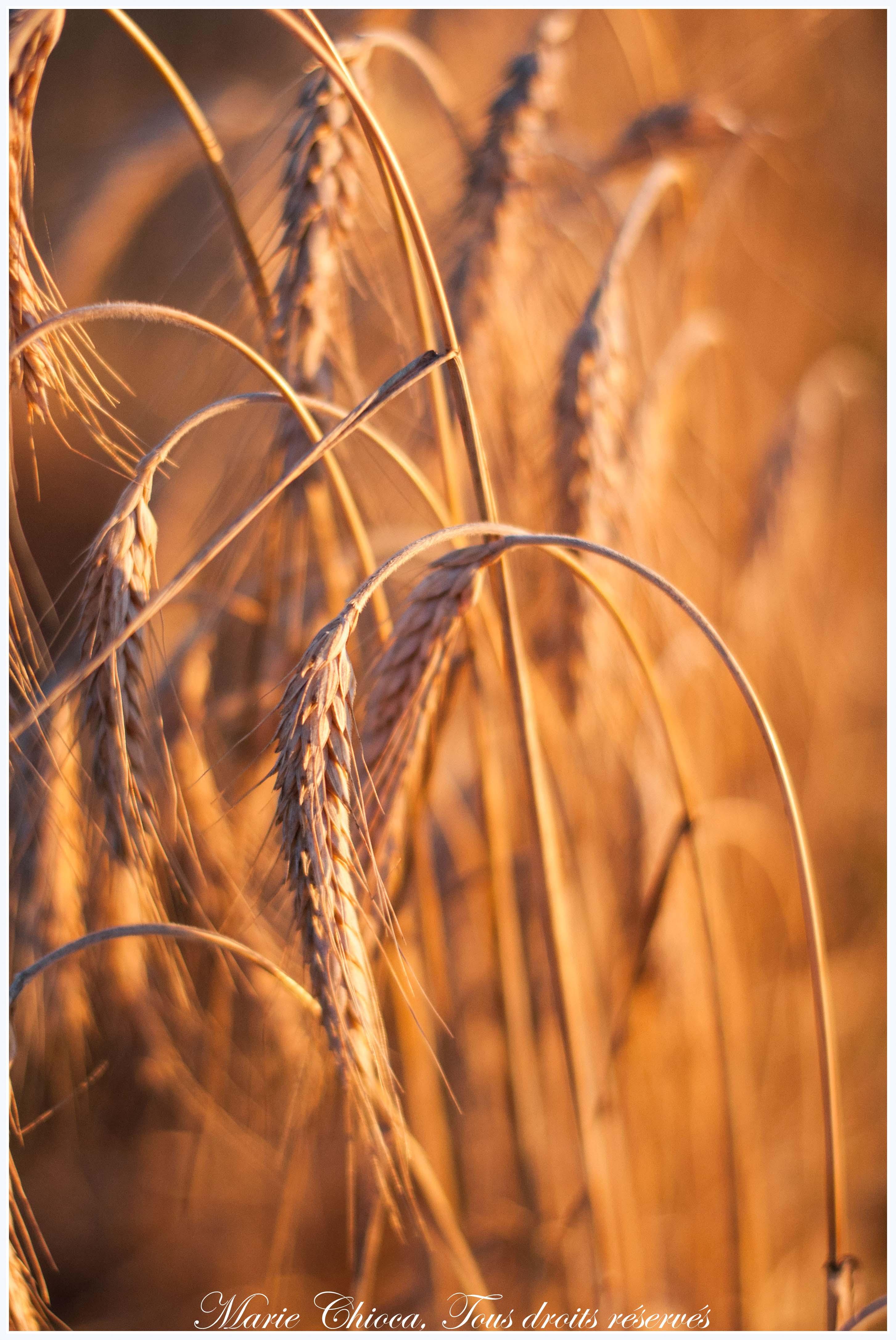 épis de blé mûrs-2