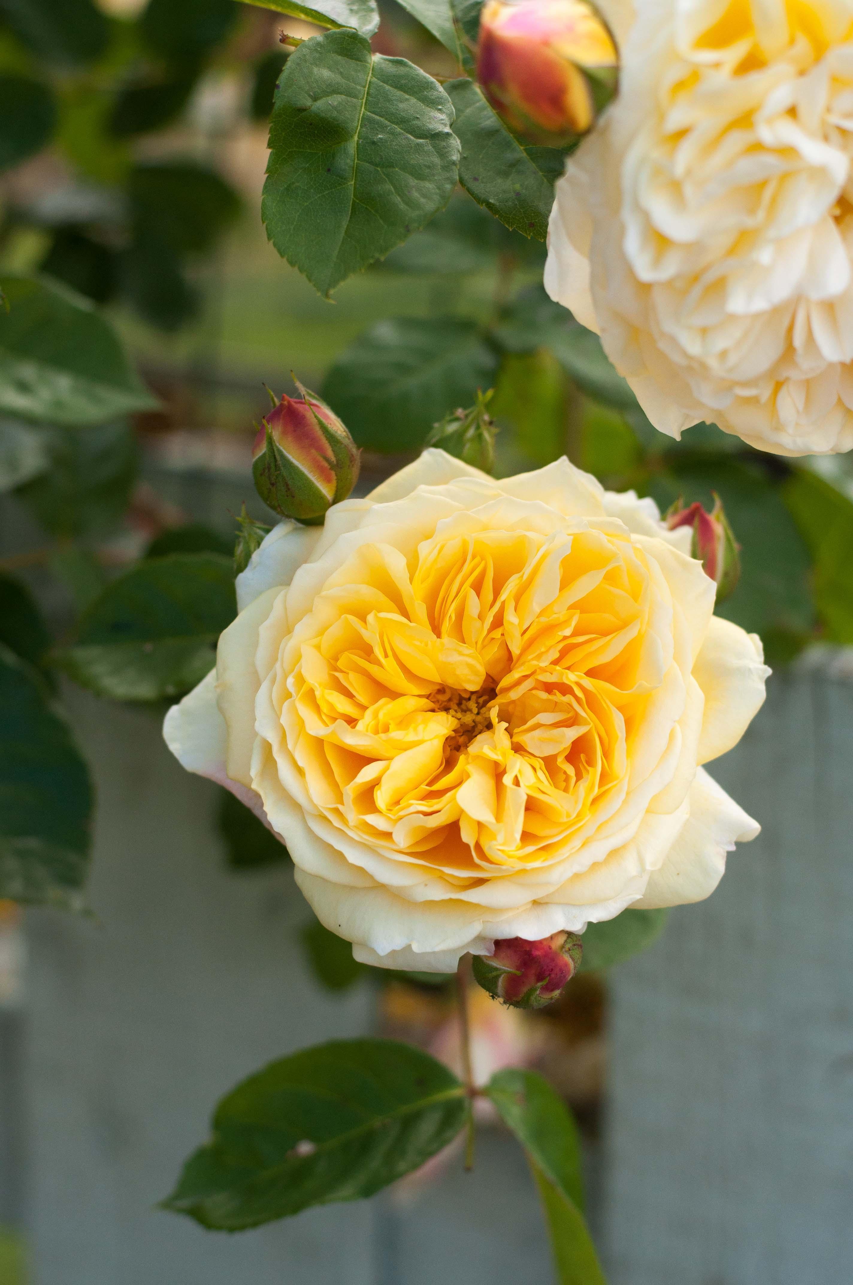 rose-teasing-georgia-2