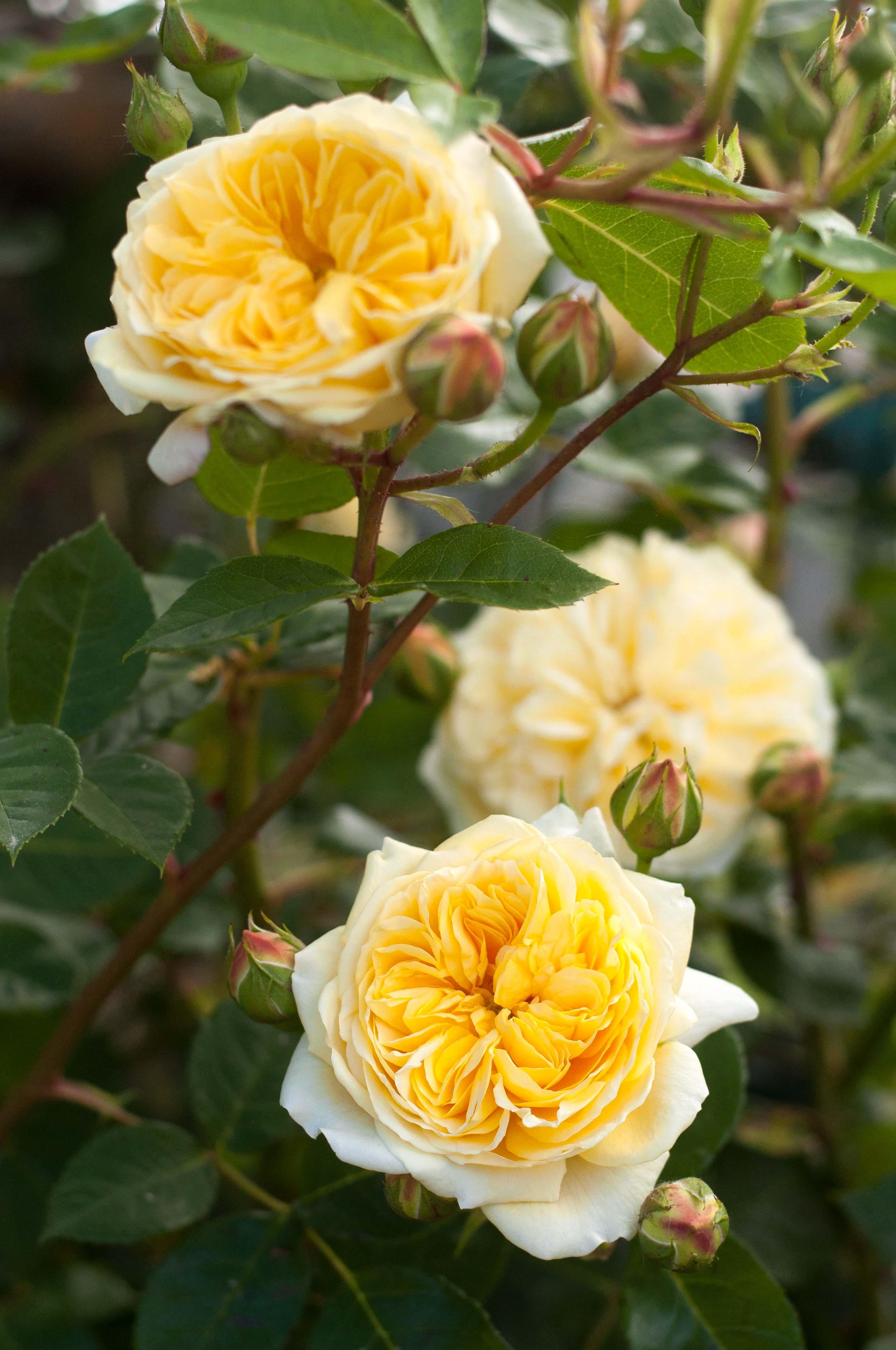 rose-teasing-georgia2-2