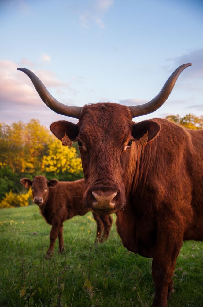 Une vache Salers et son petit... quelles belles cornes !